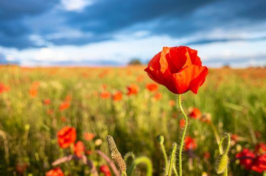 Amazing Poppy Blossom in a Poppy Field