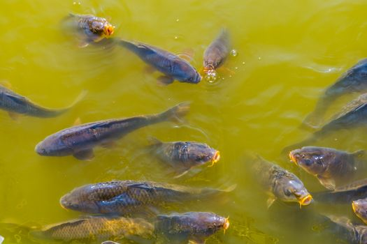 big shoal of common carps swimming together and coming above the water with their mouths, common fish specie from Europe