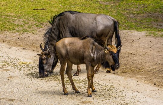 Blue wildebeest juvenile with a adult in the background, tropical antelope specie from Africa