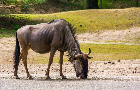 Closeup portrait of a blue Wildebeest, tropical antelope specie from Africa