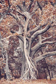 Majestic tree in city park Hawassa, Ethiopia