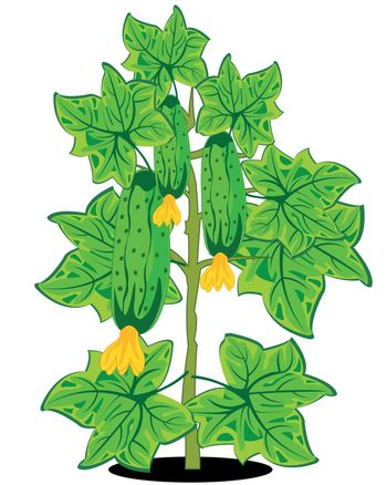 Vector illustration of the green bush with cucumber