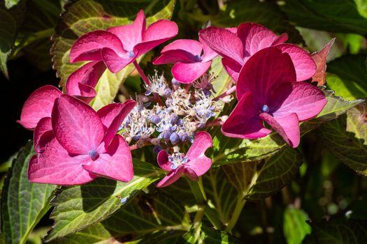 Penny mac, Hydrangea macrophylla