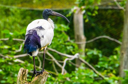 closeup of a african sacred ibis sitting in a tree, tropical bird specie from Africa