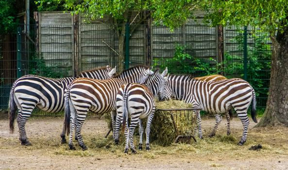 big group of grant's zebras eating hay from the crib, zoo animal feeding, tropical mammals from Africa