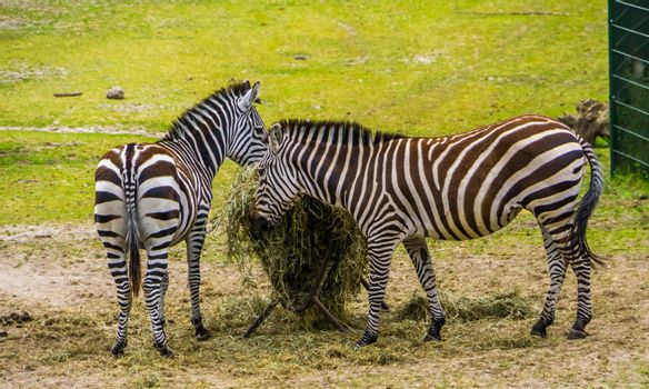 two grant's zebras eating hay from the crib, animal feeding, near threatened mammal species from the plains of Africa