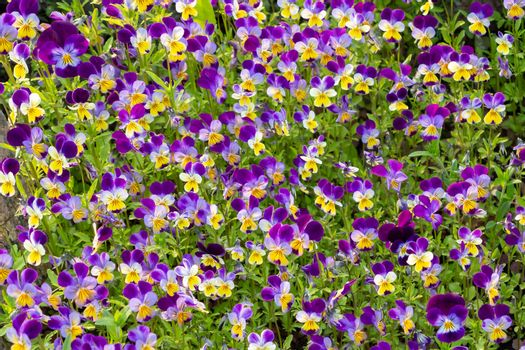 large group of perennial yellow-violet Viola cornuta, known as horned pansy or horned violet