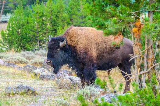 A portrait shot of buffalo in the green pasture of the well known national park