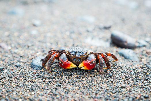 Crab on black sand beach in Amed, Bali, Indonesia