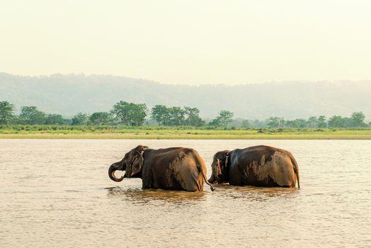 Two elephants bathing in the Gandak river at sunset in Chitwan national park, Nepal