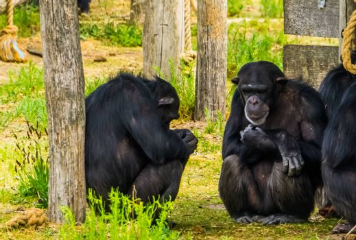closeup of two western chimpanzees sitting against a tree trunk, critically endangered primate specie from Africa