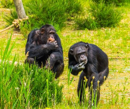 two western chimpanzees eating food together, critically endangered primate specie from Africa