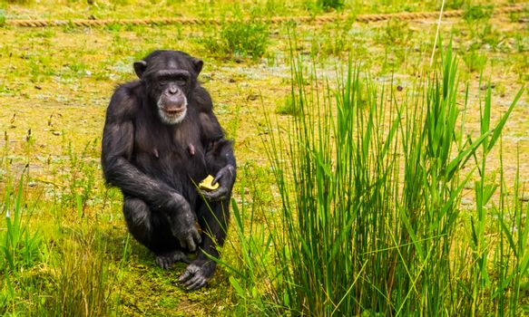 closeup portrait of a western chimpanzee holding some food, zoo animal feeding, critically endangered primate specie from Africa