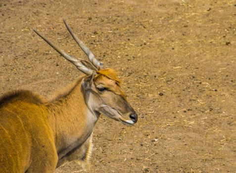 closeup of the face of a common eland, tropical antelope specie from Africa