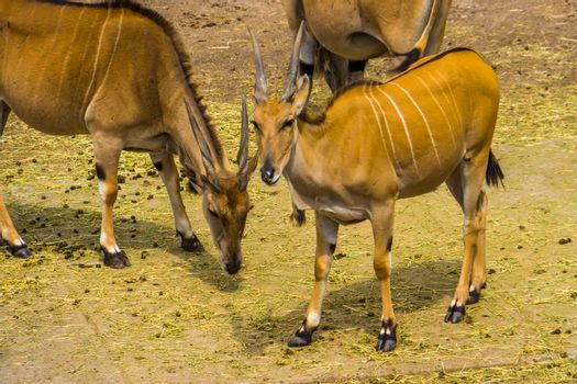 group of common elands in closeup, tropical antelope specie from Africa
