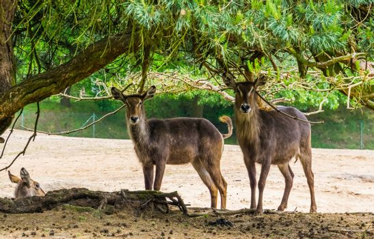 two female waterbucks standing together under a tree, marsh antelope specie from Africa