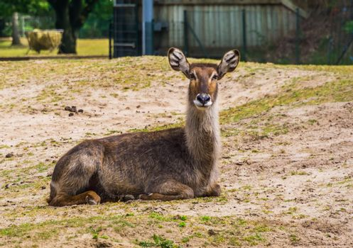 beautiful closeup portrait of a female waterbuck sitting on the ground, Marsh antelope specie from Africa