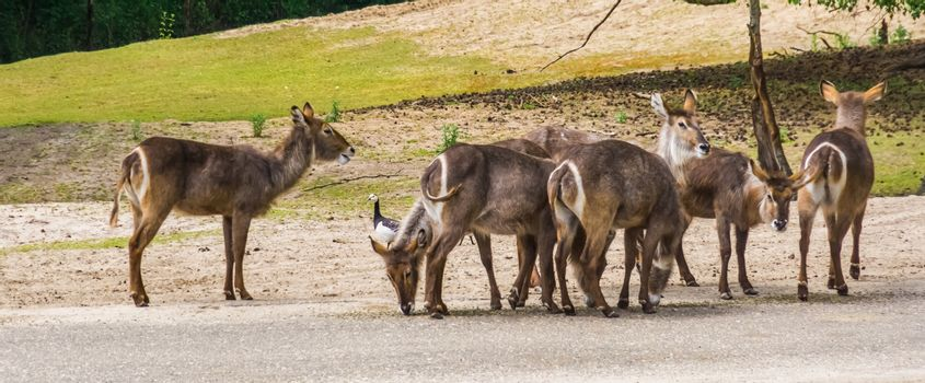 herd of female waterbucks standing together, antelope specie from Africa