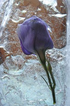 frozen flowers in a block of ice