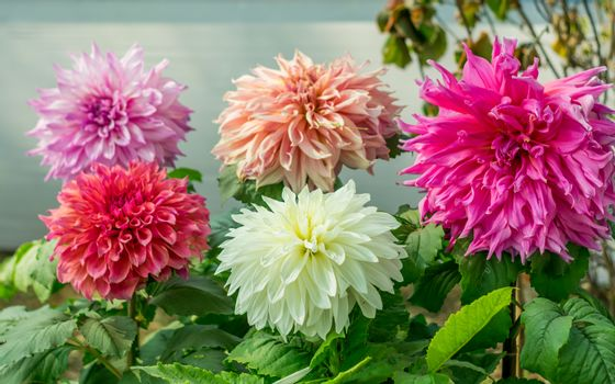 Pink White and red Guldavari Flower plant, a herbaceous perennial sun loving plant Blooms in early spring to late summer. A very popular flower for gardens and bouquets. Copy space room text.