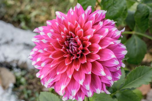 Chrysanthemum flowering plants in the family Asteraceae. It is a sun loving plant Blooms in early spring to late summer. A very popular flower for gardens and bouquets. Copy space room for text.