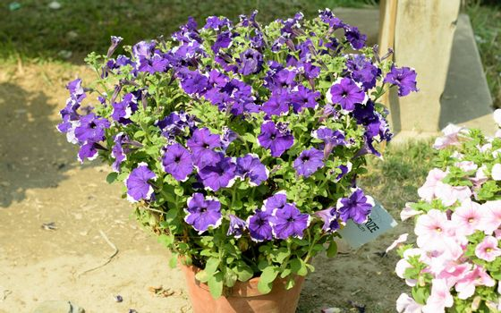 Aubrieta (Aubretia Brassicaceae) flower plant. A sun loving evergreen and perennial flower with small violet, pink or white blooms in early spring to late summer. A very popular for bouquets.