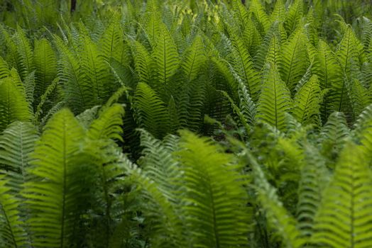Green ferns plant in the forest in sunny summer evening
