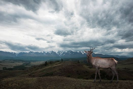 Maral deer in Kurai steppe and North-Chui ridge of Altai mountains, Russia. Cloud day. Panoramic picture