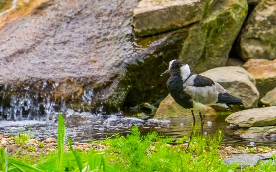 closeup of a blacksmith lapwing standing at the water side, tropical bird specie from Africa