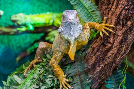 closeup of an american green iguana in a tree, tropical lizard specie from America