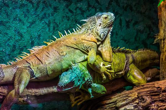 closeup of a green iguana on top of the other, dominant lizard behavior, popular tropical pets, exotic lizard specie from America