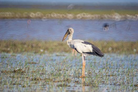 Birds live and swim in freshwater lakes, local birds in the world wetlands (Ramsa site).