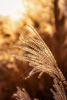 Sun shining golden light onto flower grass in winter at sunset.
