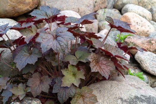Perennial plant heuchera hybrid known as alum root in rockery in the garden