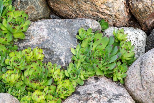 Perennial plant sempervivum as houseleek in a rock garden in rockery in the summer garden