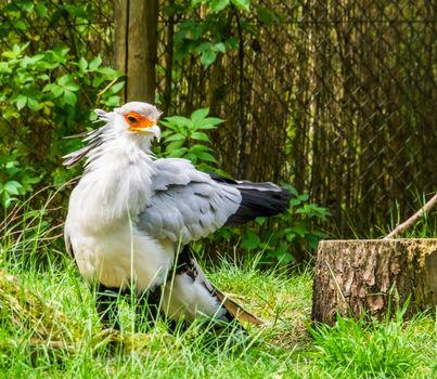 closeup of a secretary bird, Beautiful bird of prey from Africa, Vulnerable animal specie