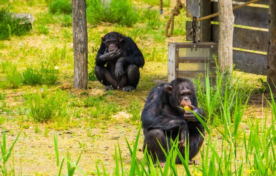 zoo animal feeding, two Western chimpanzees eating food, critically endangered primate specie from Africa