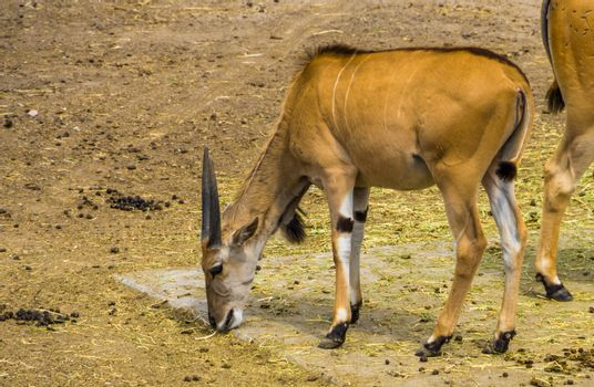 common eland eating hay of the ground, tropical antelope specie from Africa