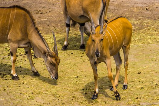 herd of common elands together in closeup, tropical antelope specie from Africa