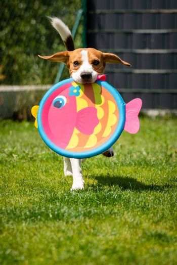 Playful Beagle Dog running with round colorful fish like toy. Vertical background