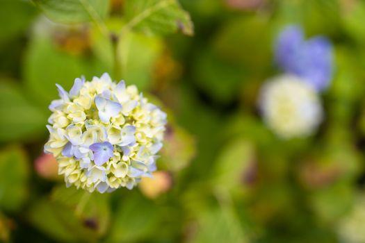 Purple Hydrangea macrophylla blossoming in garden in Summer