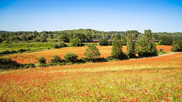 Poppy Field with Steam Train in the Background
