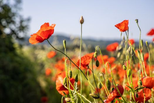 Close Up View of Beautiful Poppy Flowers