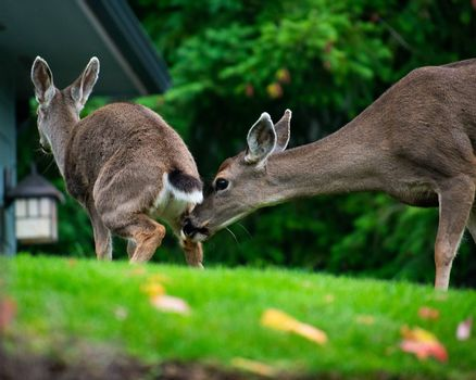 Deer sniffing another deers butt in grass yard