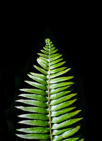Green fern detail with black background