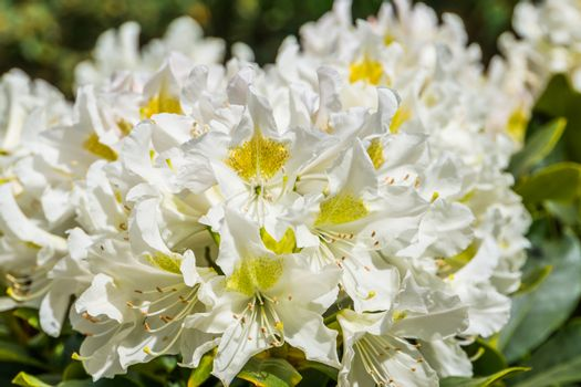 beautiful white rhododendron flowers in macro closeup, popular plant specie from Asia