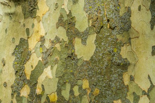 smooth tree bark pattern background, tree natural defending mechanism, soft tree trunk