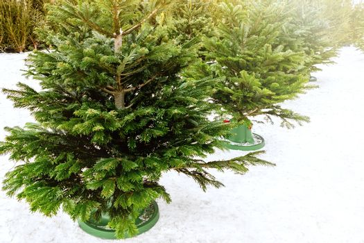 Sale of Christmas trees in December on a sunny frosty day