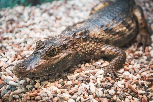 The spectacled caiman (Caiman crocodilus chiapasius) closeup portrait