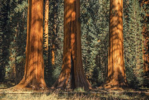 Three Ancient Sequoias in the Sequoia National Park in Sierra Nevada Mountains, United States.
